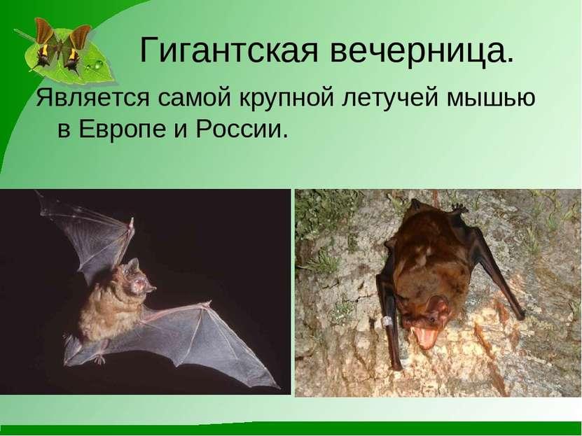 Гигантская вечерница. Является самой крупной летучей мышью в Европе и России.
