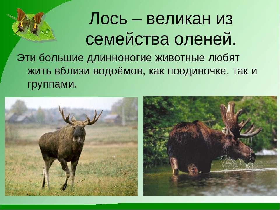 Лось – великан из семейства оленей. Эти большие длинноногие животные любят жи...