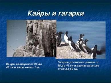 Кайры и гагарки Кайры размером от 39 до 48 см и весят около 1 кг. Гагарки дос...