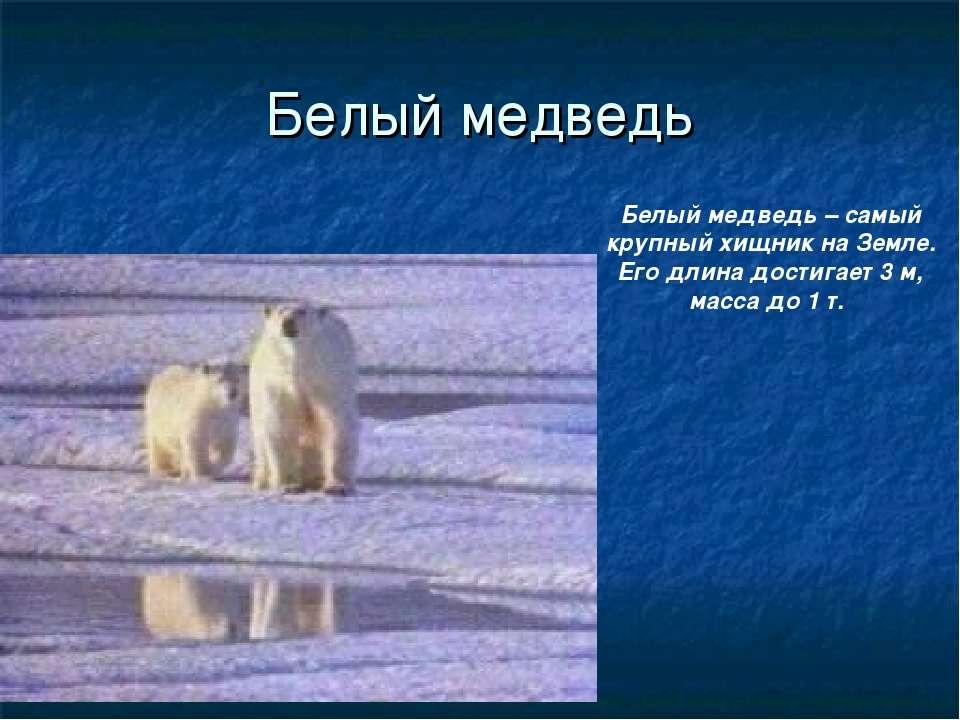 Белый медведь Белый медведь – самый крупный хищник на Земле. Его длина достиг...
