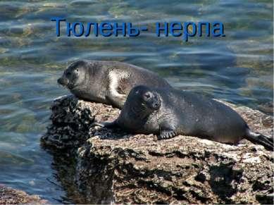 Тюлень- нерпа