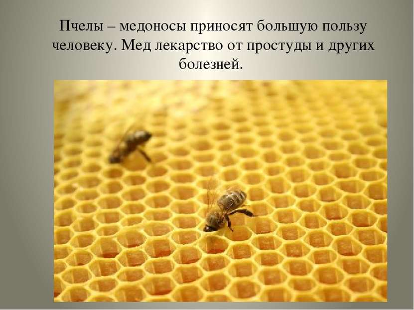 Пчелы – медоносы приносят большую пользу человеку. Мед лекарство от простуды ...