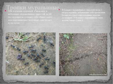 При изучении муравьев, я выяснил, в небольших муравейниках (высотой до 60 см)...