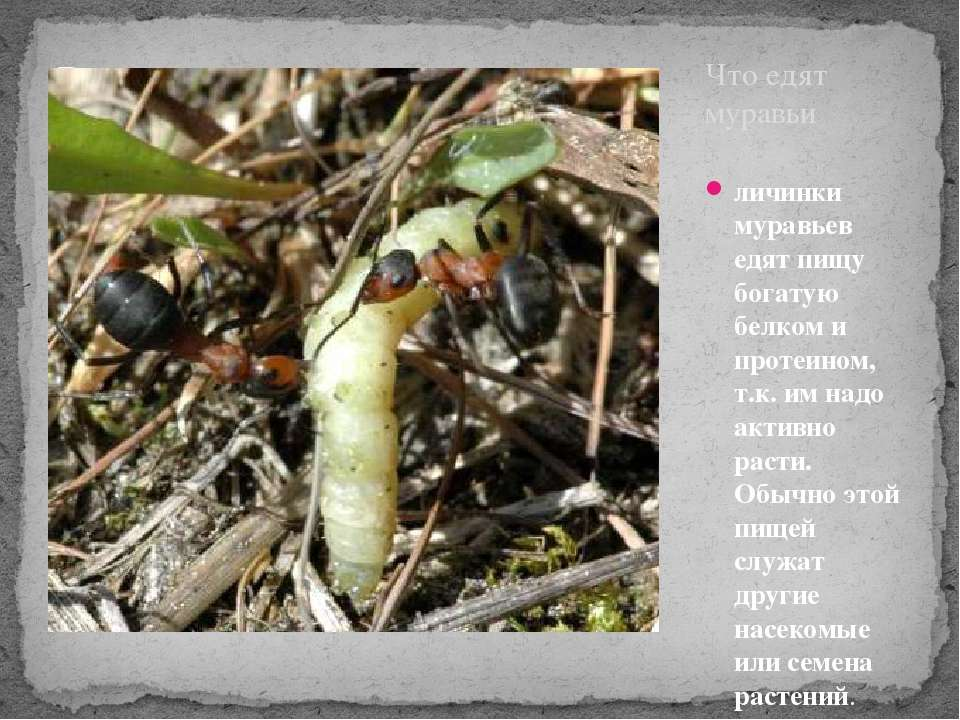 Что едят муравьи личинки муравьев едят пищу богатую белком и протеином, т.к. ...