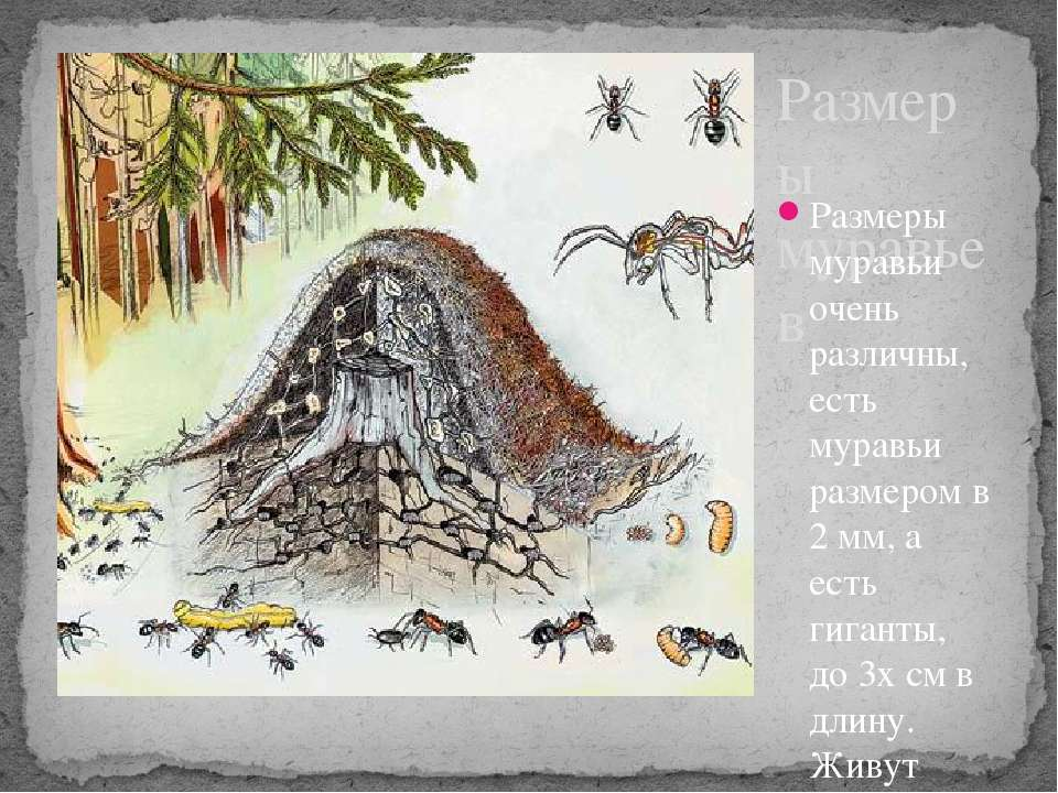 Размеры муравьев Размеры муравьи очень различны, есть муравьи размером в 2 мм...
