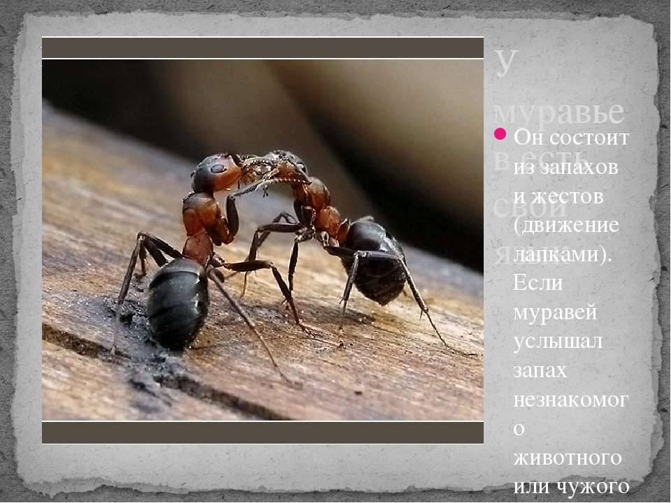 У муравьев есть свой язык Он состоит из запахов и жестов (движение лапками). ...