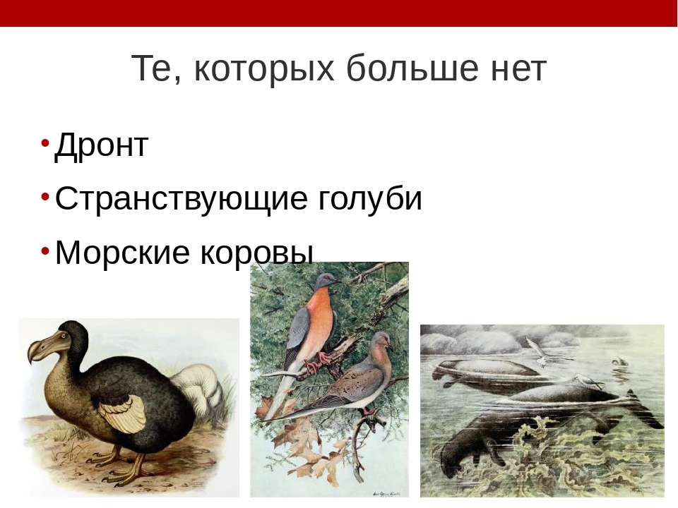 Те, которых больше нет Дронт Странствующие голуби Морские коровы Дронт. В 168...