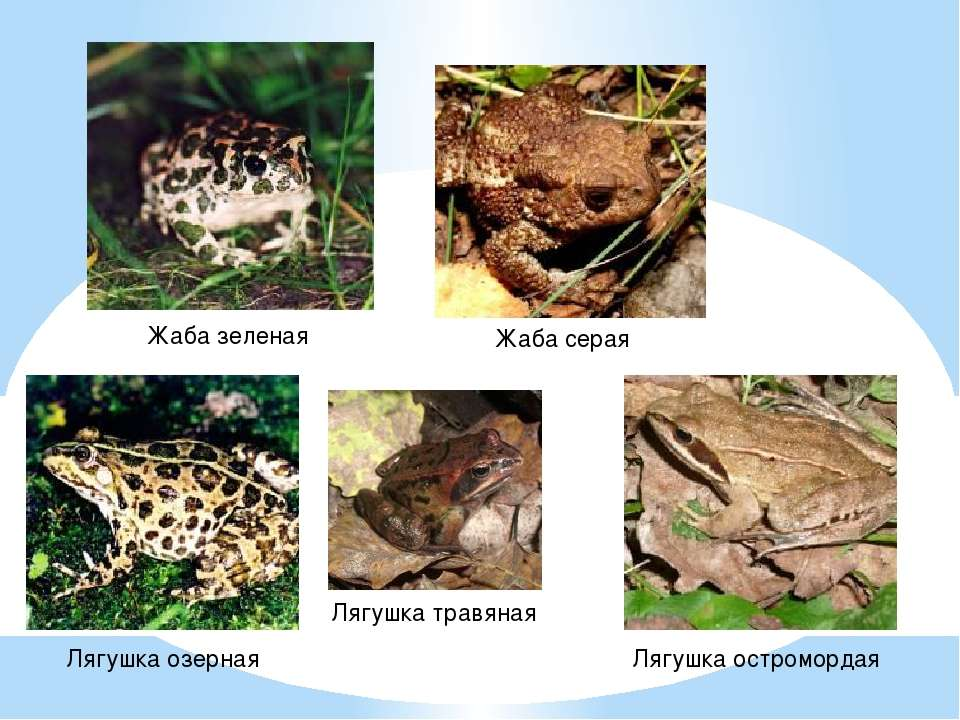 Жаба зеленая Жаба серая Лягушка травяная Лягушка озерная Лягушка остромордая