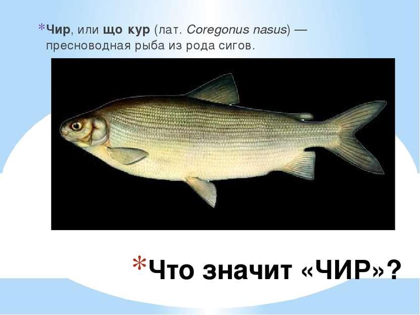 Что значит «ЧИР»? Чир, илищо кур (лат.Coregonus nasus) — пресноводная рыба ...