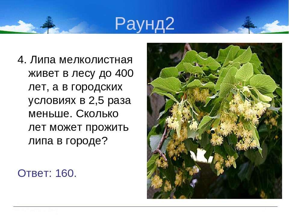 Раунд2 4. Липа мелколистная живет в лесу до 400 лет, а в городских условиях в...