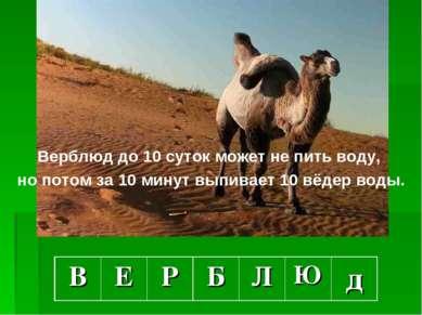 Верблюд до 10 суток может не пить воду, но потом за 10 минут выпивает 10 вёде...