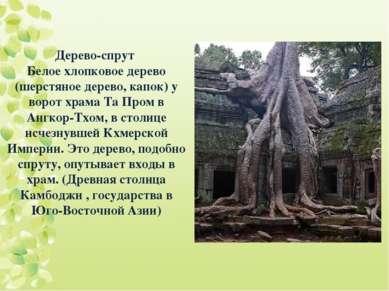 Дерево-спрут Белое хлопковое дерево (шерстяное дерево, капок) у ворот храма Т...