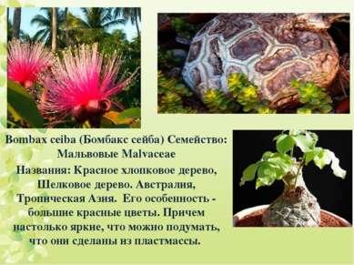 Bombax ceiba (Бомбакс сейба) Семейство: Мальвовые Malvaceae Названия: Красное...