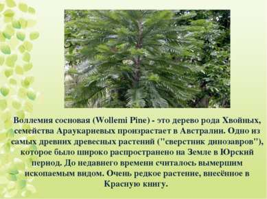 Воллемия сосновая (Wollemi Pine) - это дерево рода Хвойных, семейства Араукар...