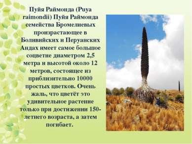 Пуйя Раймонда (Puya raimondii) Пуйя Раймонда семейства Бромелиевых произраста...
