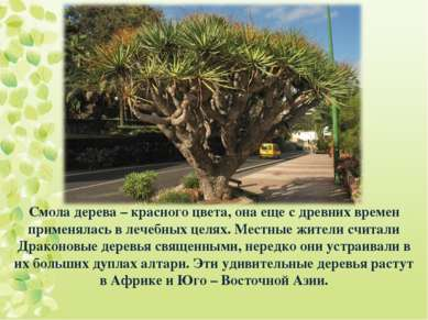 Смола дерева – красного цвета, она еще с древних времен применялась в лечебны...