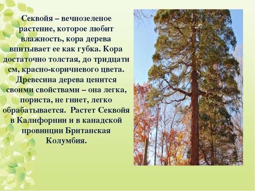 Секвойя – вечнозеленое растение, которое любит влажность, кора дерева впитыва...