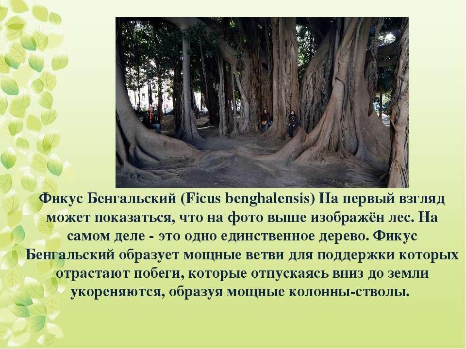 Фикус Бенгальский (Ficus benghalensis) На первый взгляд может показаться, что...
