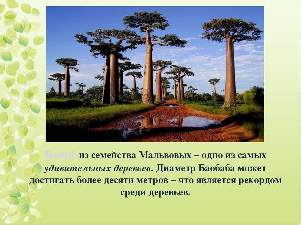 Баобаб из семейства Мальвовых – одно из самых удивительных деревьев. Диаметр ...
