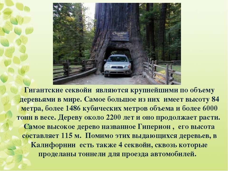 Гигантские секвойи являются крупнейшими по объему деревьями в мире. Самое бол...