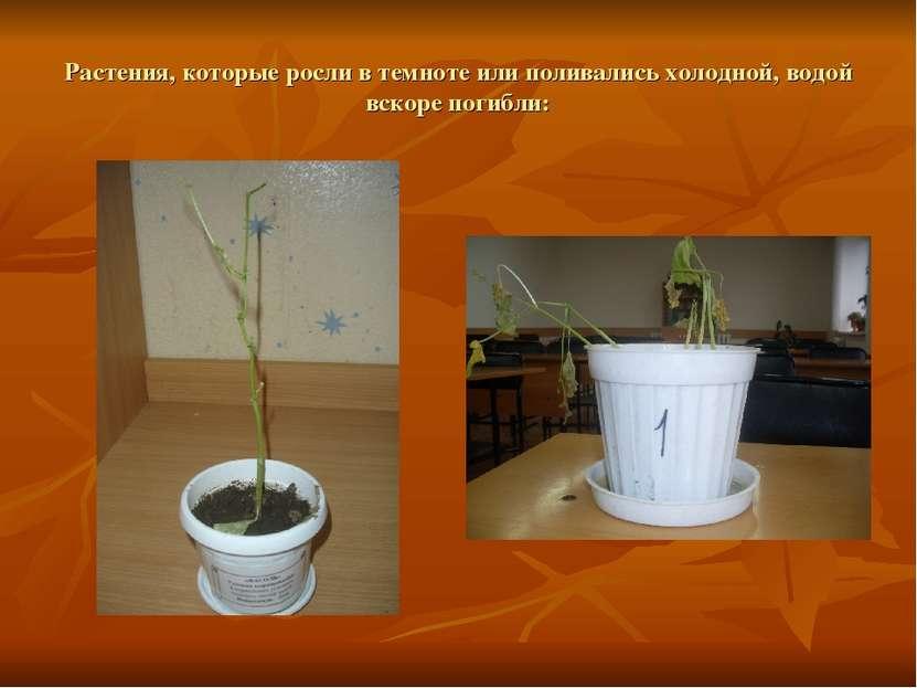 Растения, которые росли в темноте или поливались холодной, водой вскоре погибли: