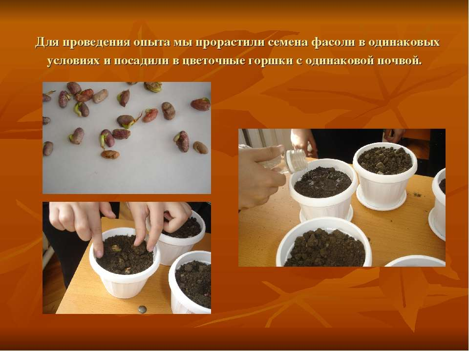 Для проведения опыта мы прорастили семена фасоли в одинаковых условиях и поса...