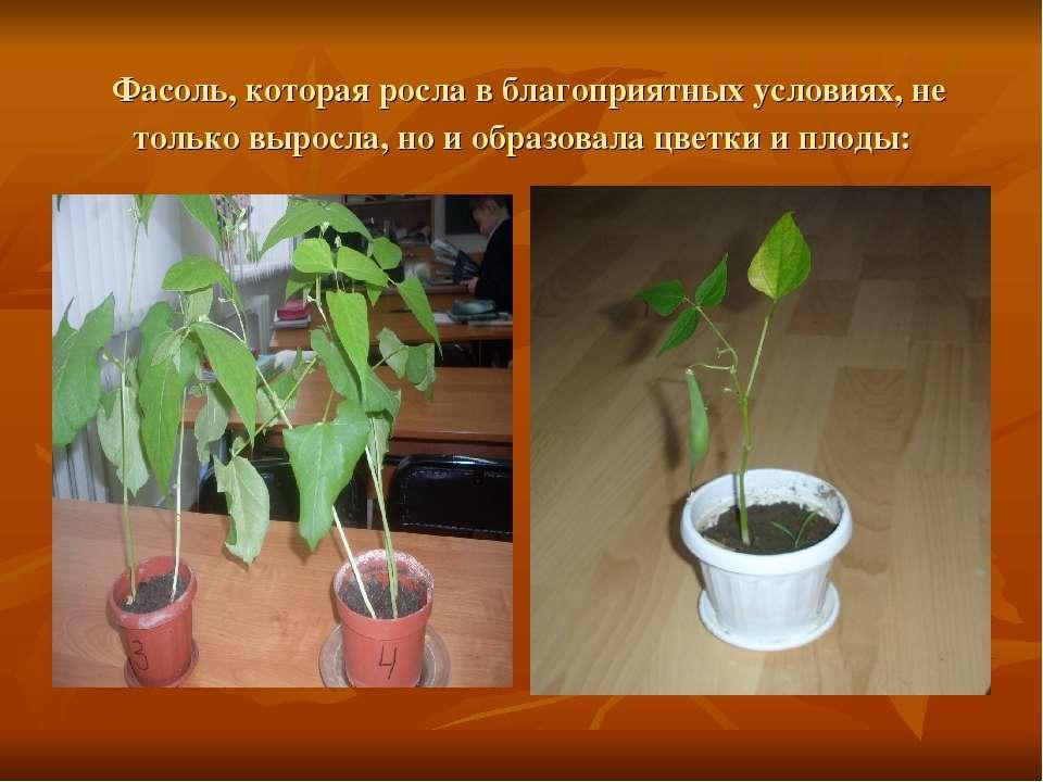 Фасоль, которая росла в благоприятных условиях, не только выросла, но и образ...