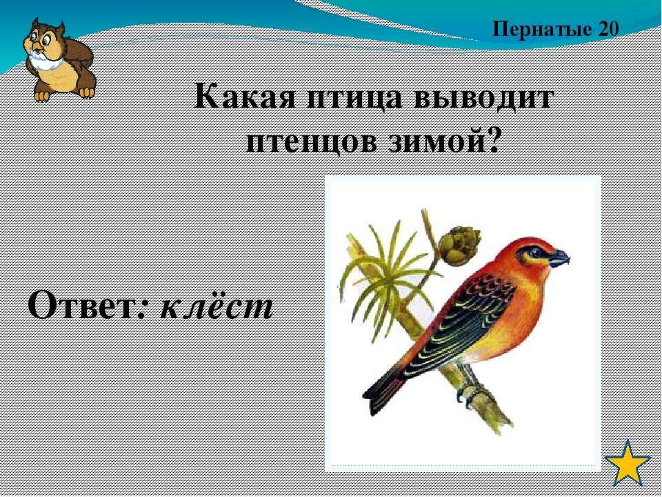 Пернатые 20 Ответ: клёст Какая птица выводит птенцов зимой?