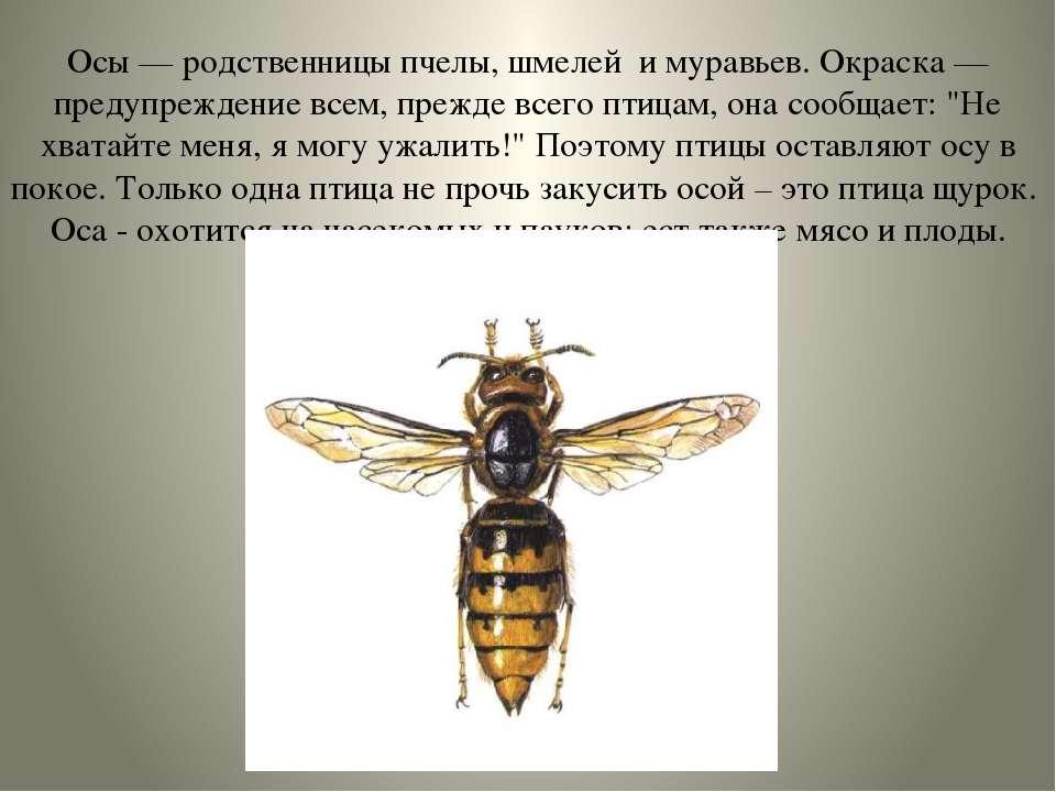 Осы — родственницы пчелы, шмелей и муравьев. Окраска — предупреждение всем, п...