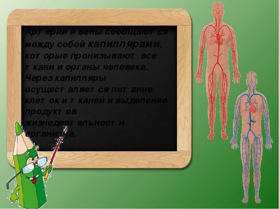 Артерии и вены сообщаются между собой капиллярами, которые пронизывают все тк...