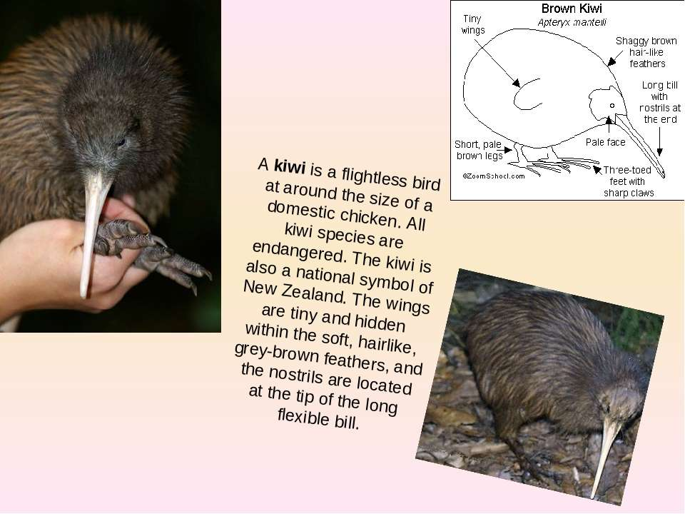 A kiwi is a flightless bird at around the size of a domestic chicken. All kiw...