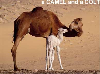 a CAMEL and a COLT