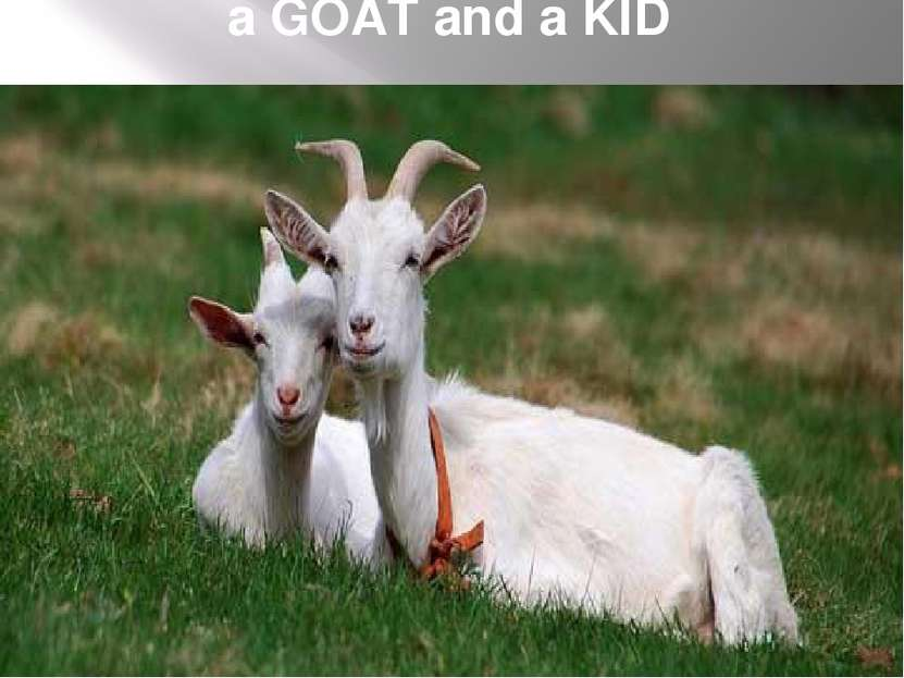 a GOAT and a KID