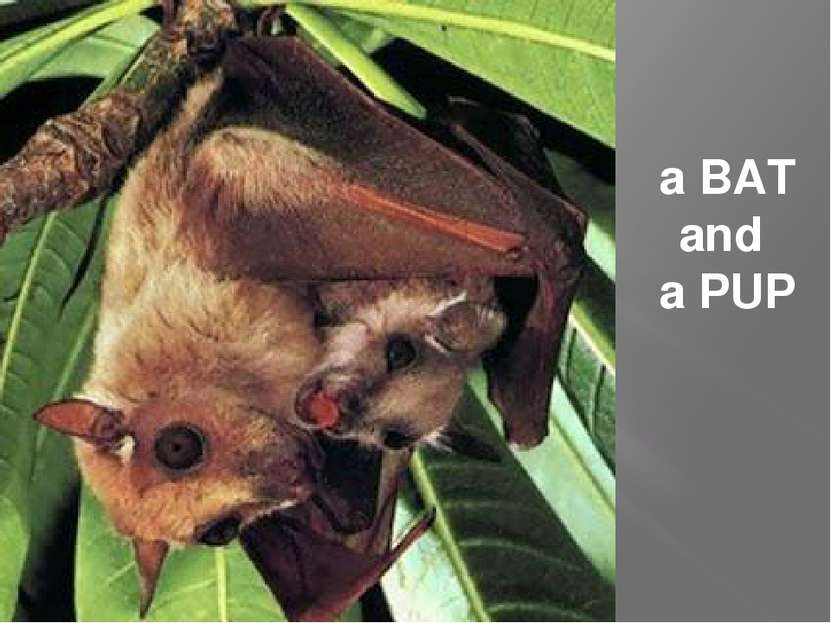 a BAT and a PUP