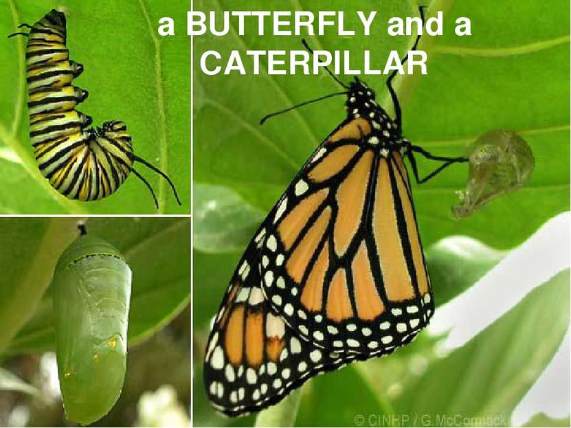 a BUTTERFLY and a CATERPILLAR