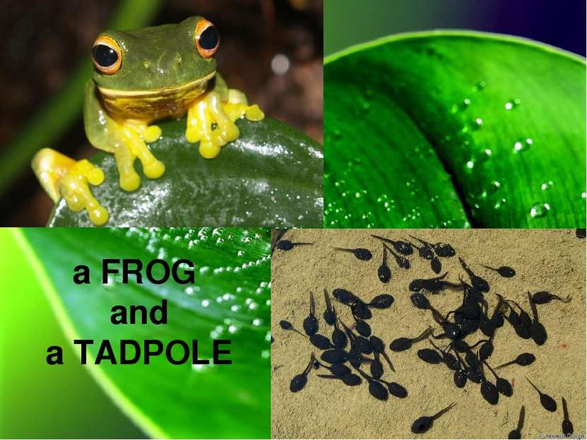 a FROG and a TADPOLE