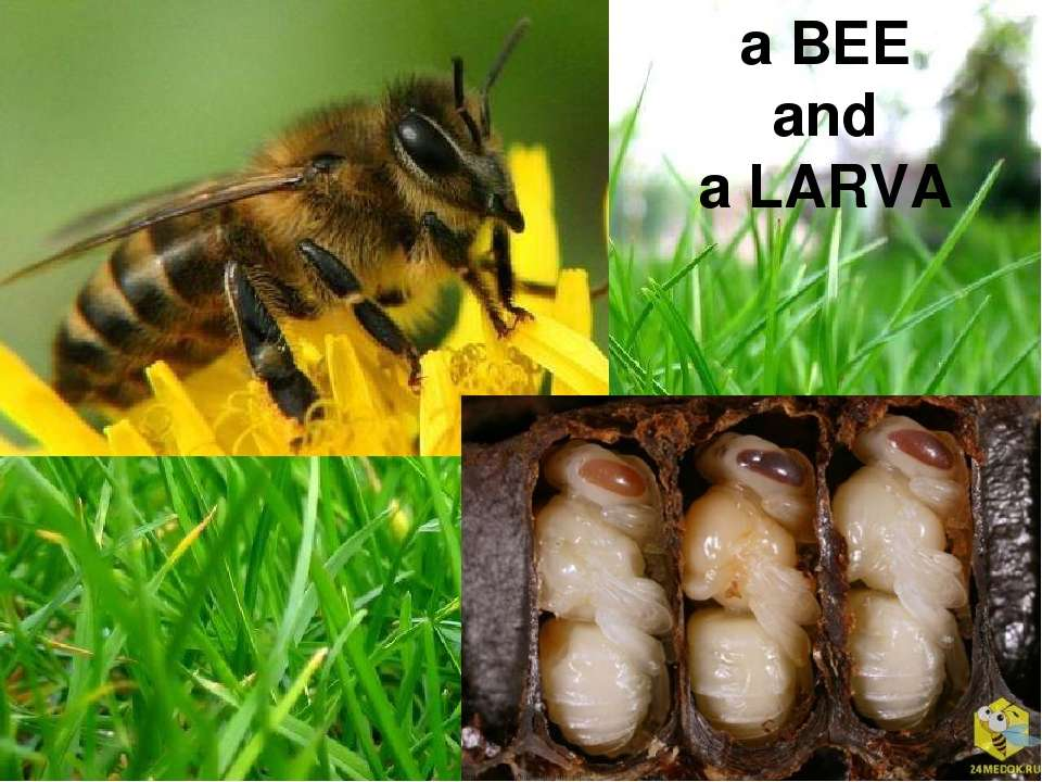 a BEE and a LARVA