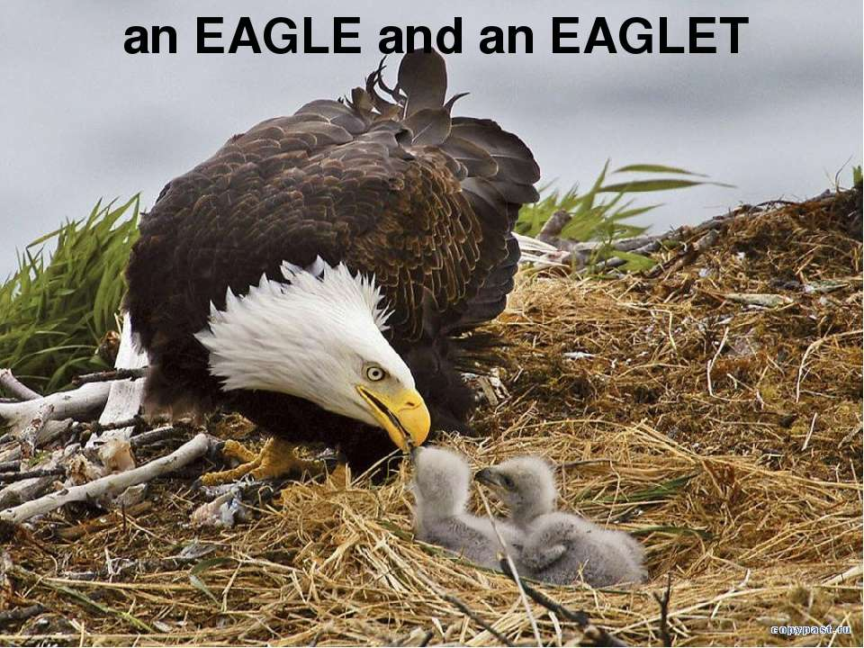 an EAGLE and an EAGLET