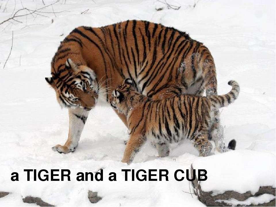 a TIGER and a TIGER CUB