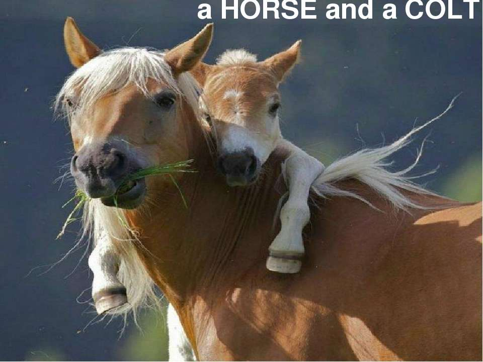 a HORSE and a COLT