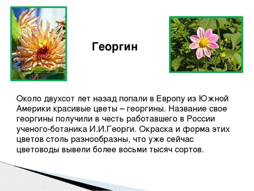Георгин Около двухсот лет назад попали в Европу из Южной Америки красивые цве...
