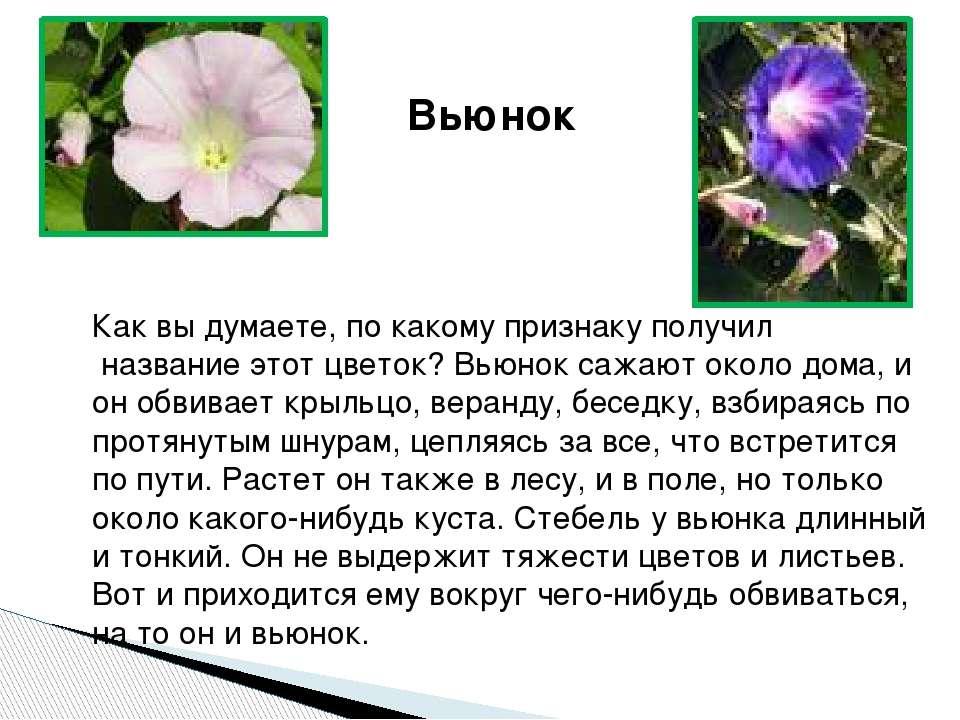 Вьюнок Как вы думаете, по какому признаку получил название этот цветок? Вьюно...