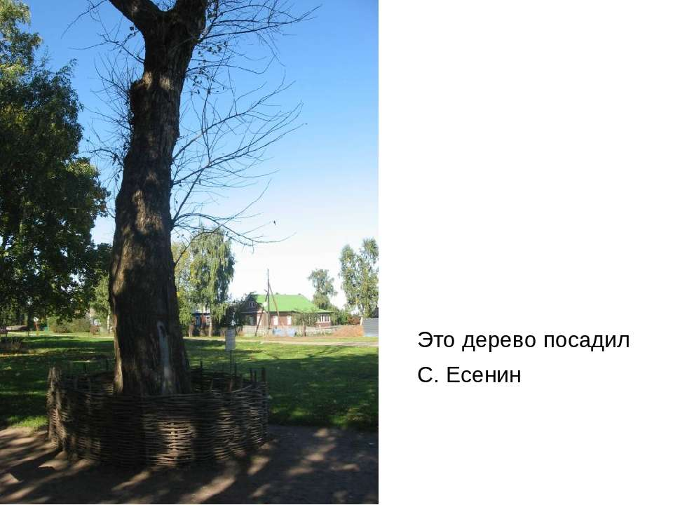 Это дерево посадил С. Есенин