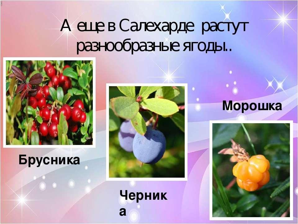А еще в Салехарде растут разнообразные ягоды.. Брусника Черника Морошка