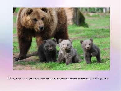 В середине апреля медведица с медвежатами вылезает из берлоги.