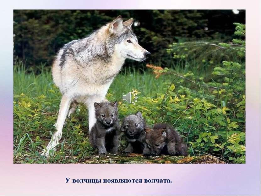 У волчицы появляются волчата.