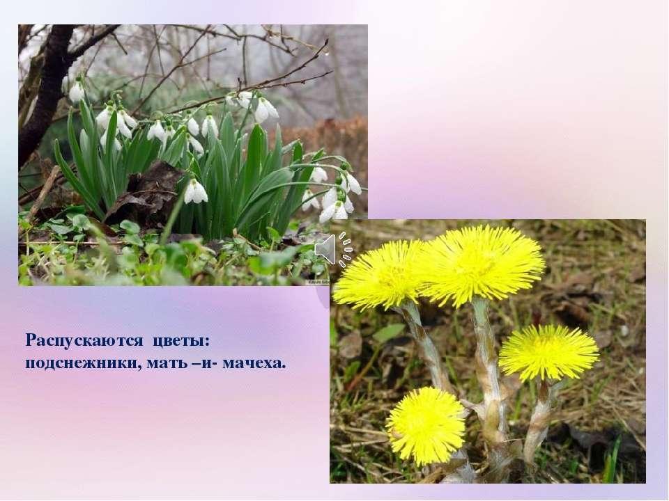 Распускаются цветы: подснежники, мать –и- мачеха.