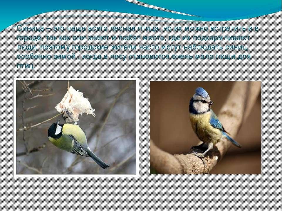 Синица – это чаще всего лесная птица, но их можно встретить и в городе, так к...