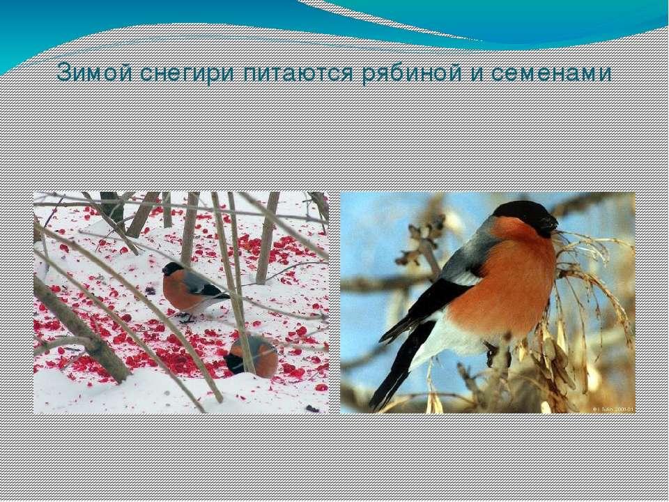 Зимой снегири питаются рябиной и семенами