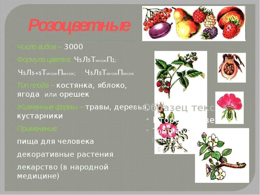 Розоцветные Число видов – 3000 Формула цветка: Ч5Л5ТмножП1; Ч5Л5+5ТмножПмнож;...